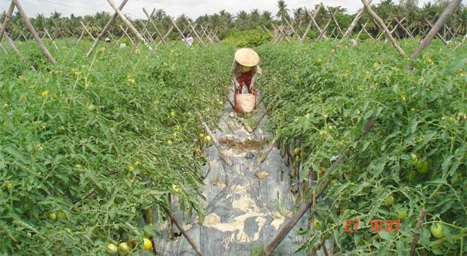 Mô hình trồng cà chua ghép kháng bệnh héo rũ